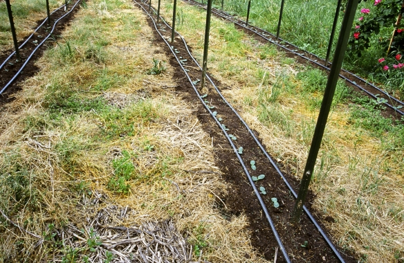 Farming vegetables with minimal tillage using winter weeds and bell beans to out compete summer weeds and grasses.