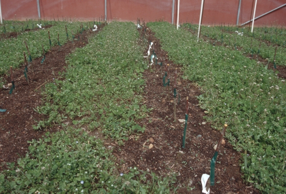 Apple trees growing in a nursery using clover to protect the soil from the sun.