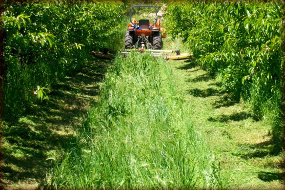 Mowing is alternated between under the tree and the middle of the orchard rows to always have beneficial habitat close to the crop.